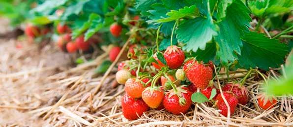 Куст с ягодами клубники
