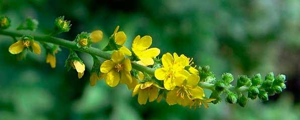 Растение репешок