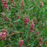 Растение зубчатка