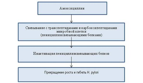 Механизм действия Амоксициллина
